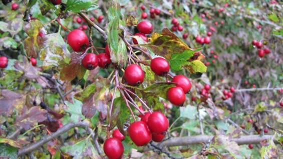 Как да се лекуваме с глог – лечебни рецепти и чай