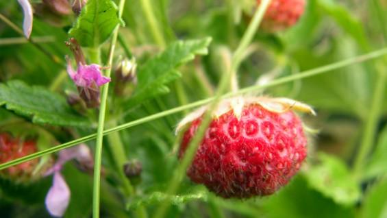 Как да поддържаме тонус с горски ягоди