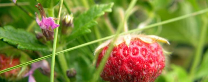 как горски ягоди