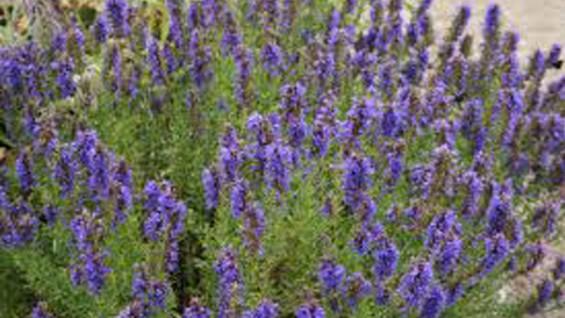 Как да се лекуваме с Исоп (растение) – чай и лечебно действие