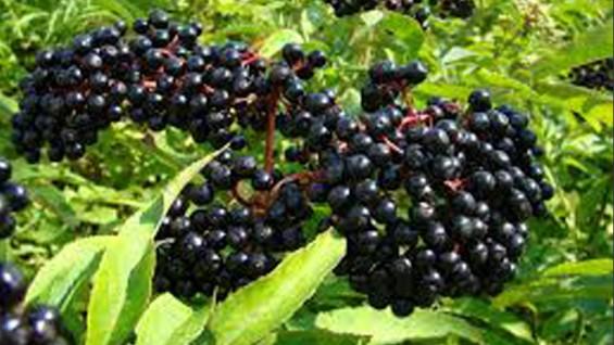 Черен бъз – лечебни свойства и рецепти