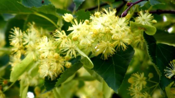 Как да си приготвим чай от липа – лечебни свойства